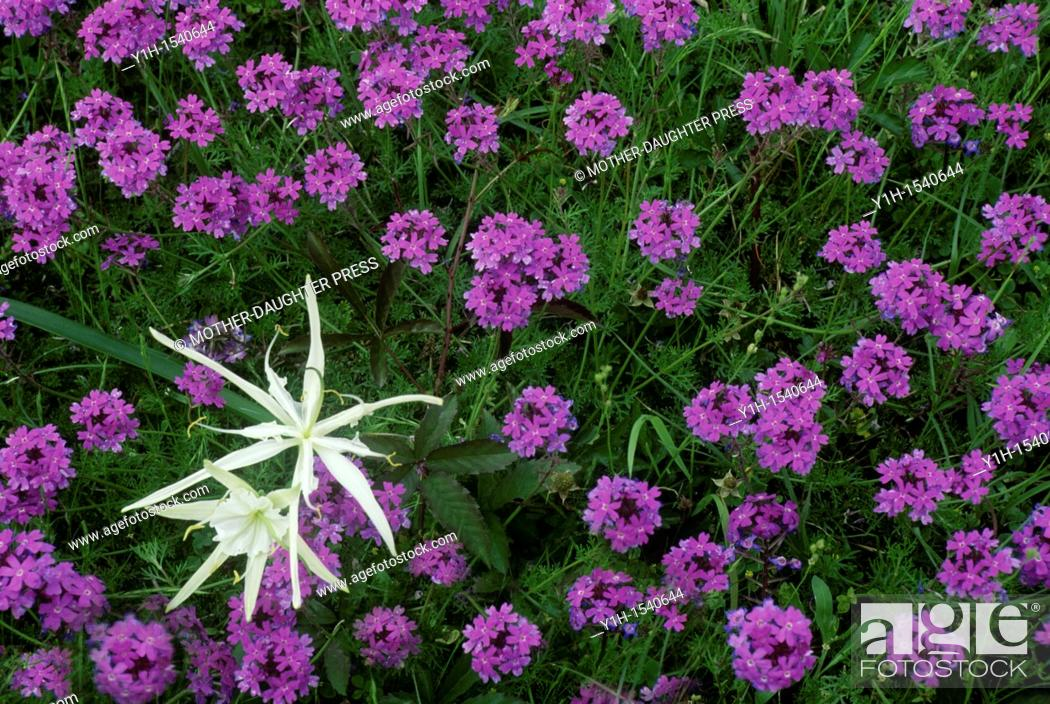 Stock Photo: Spider Lily and purple verbena.