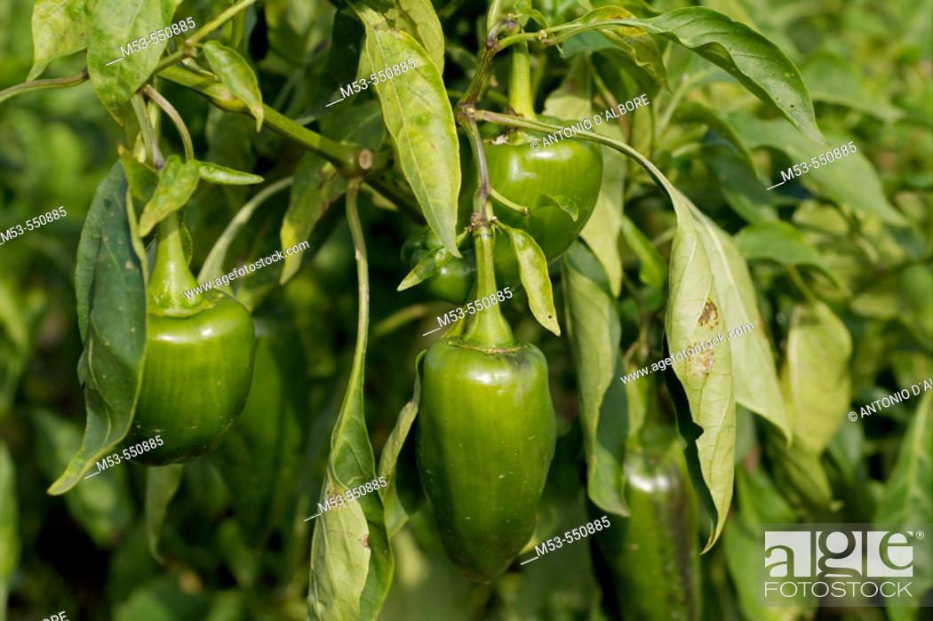 Stock Photo: Plant of green pepper. Sant'Agata dè Goti. Province of Benevento. Campania. Italy.