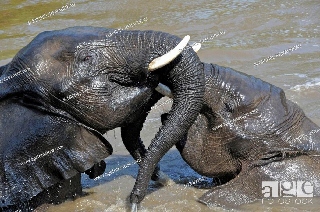 Stock Photo: Elephants, Kruger National Park, Mpumalonga, South Africa.