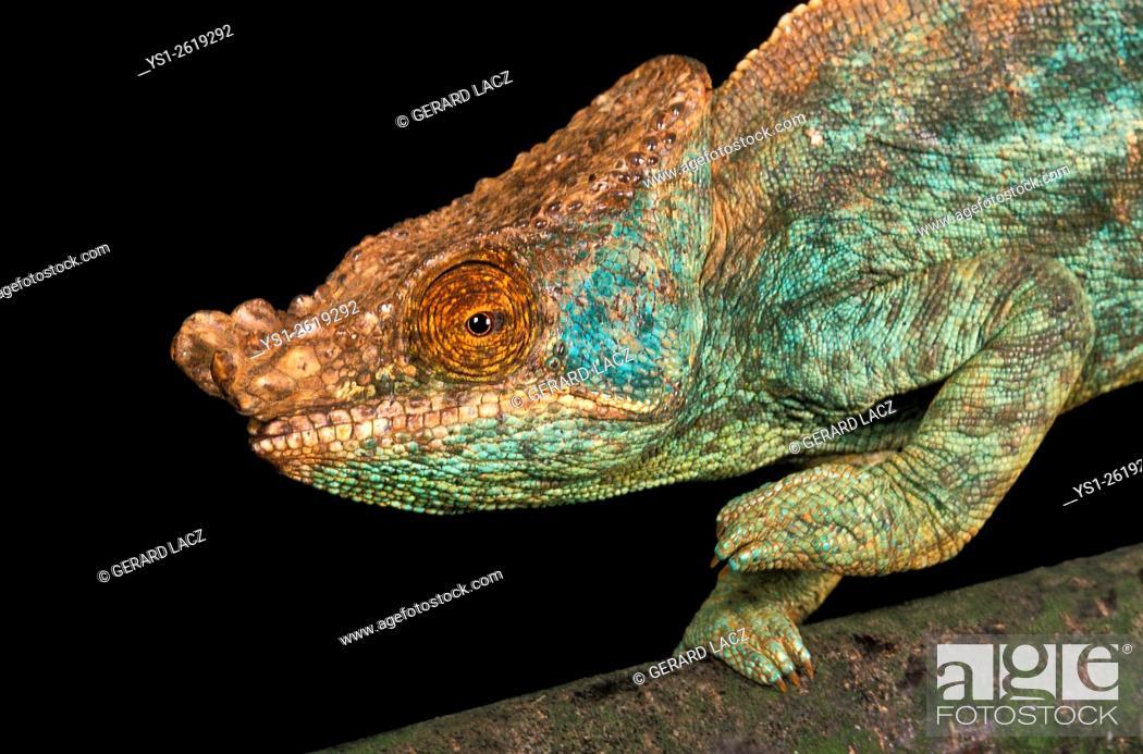 Stock Photo: Parson's Chameleon, chamaeleo parsonii.