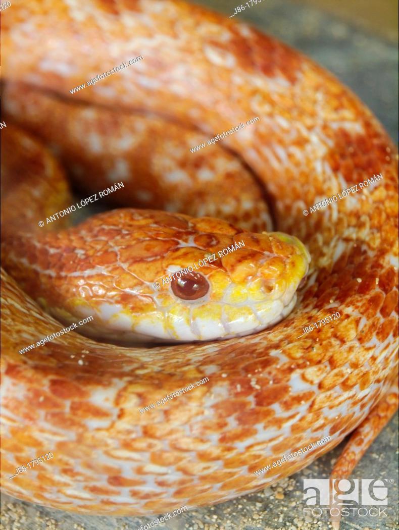 Stock Photo: Corn snake, red corn snake (Elaphe guttata).