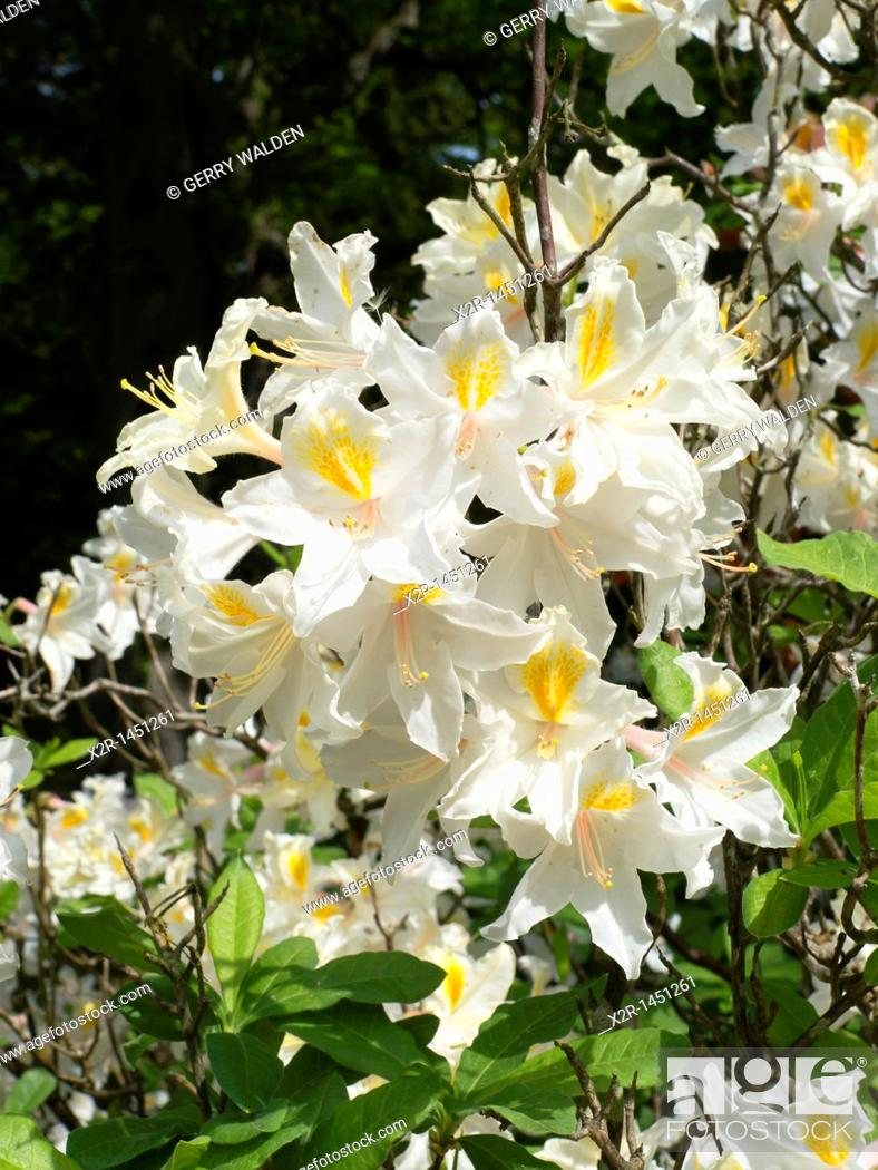 Stock Photo: Rhododendron 'Nancy Buthanan'.