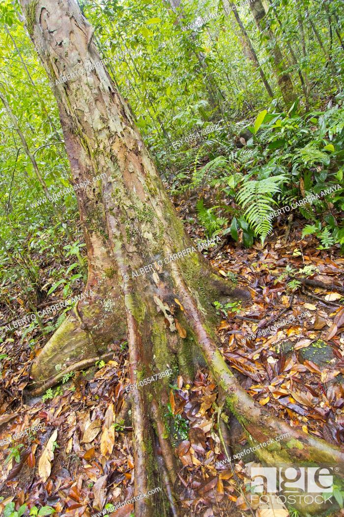 Imagen: Old trees and Roots, Sinharaja National Park Rain Forest, Sinharaja Forest Reserve, World Heritage Site, UNESCO, Biosphere Reserve, National Wilderness Area.
