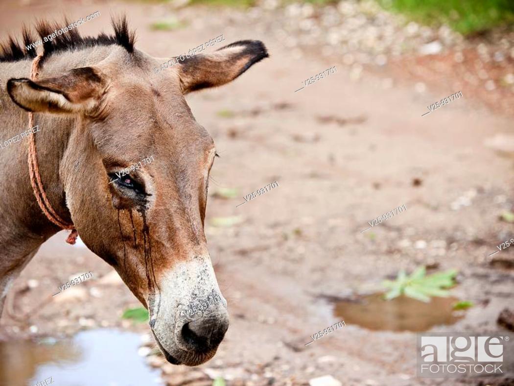 Stock Photo: Donkey.