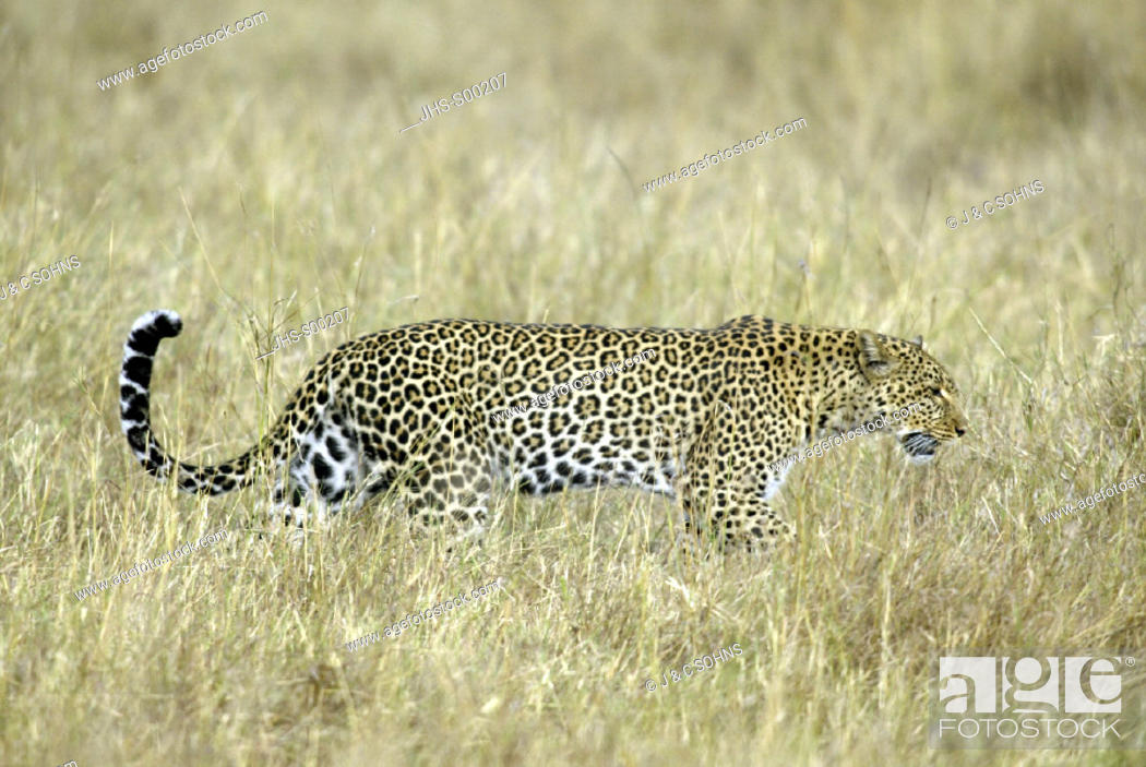 Stock Photo: Leopard, Panthera pardus, Masai Mara, Kenya, adult female.