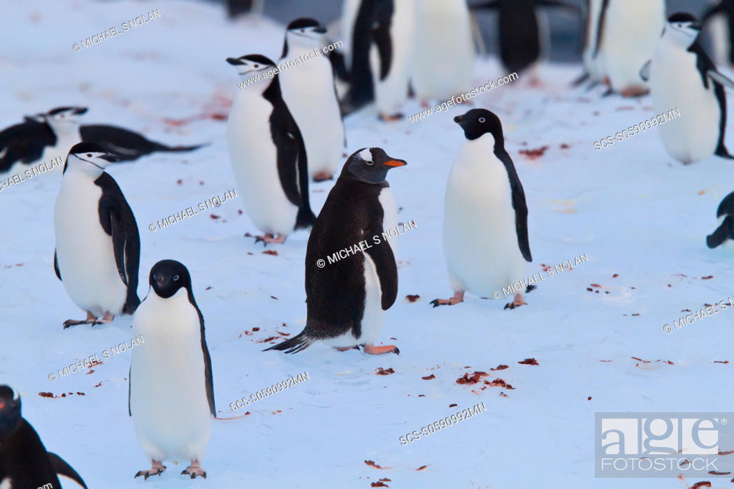 Stock Photo: Three species of brushtail penguins gentoo, Adelie, and chinstrap all together on an iceberg in the Weddell Sea, on the eastern side of the Antarctic Peninsula.
