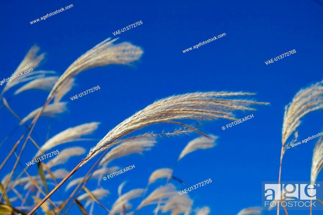 Stock Photo: pampass grass, field, scenic, scenery, landscape, eulalia.