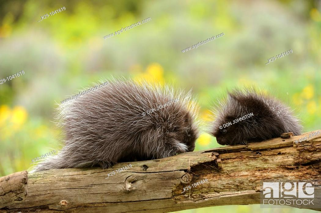 Stock Photo: Porcupine Erethizon dorsatum Baby and adult.