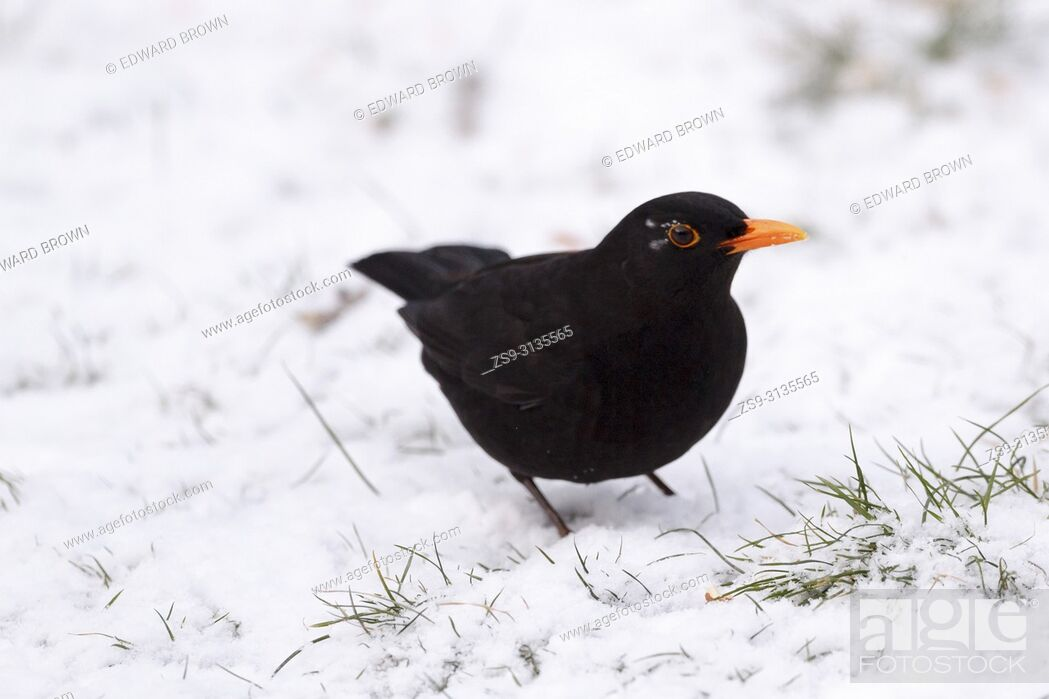 Stock Photo: A Blackbird (Turdus merula) feeds on a snow covered lawn, East Sussex, UK.