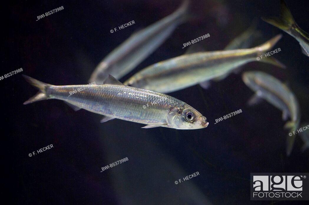 Herring Atlantic Herring Clupea Harengus Swimming Young