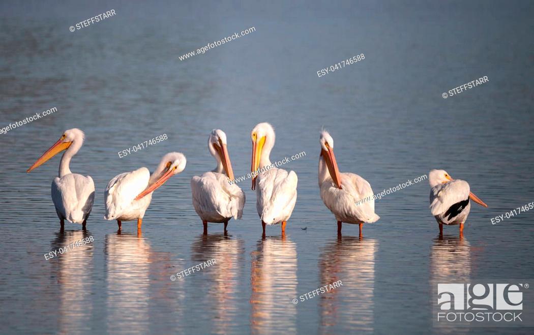 Imagen: American white pelican Pelecanus erythrorhynchos in a marsh on Sanibel Island, Florida.