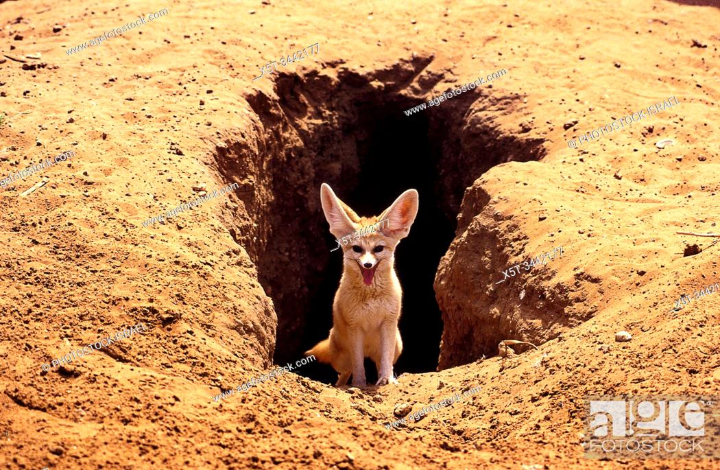 Stock Photo: Fennec fox, (Vulpes zerda) near its burrow , Photographed in Israel.