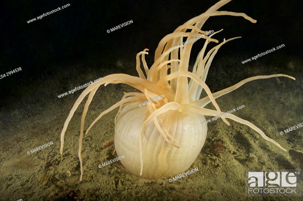 Sea Anemone (Andresia partenopea)  Eastern Atlantic  Galicia
