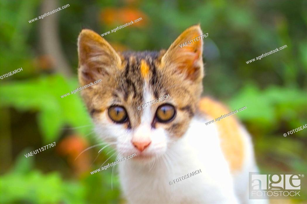 Stock Photo: cute, domestic, furry, kitty, kitten, house pet, feline.