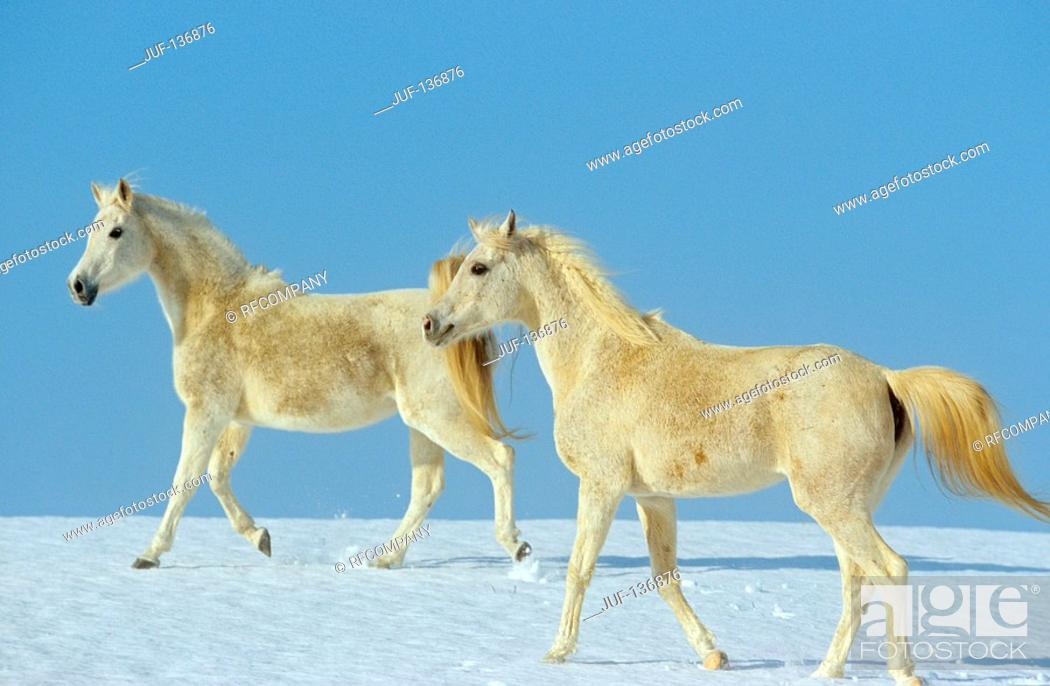 Stock Photo: two young Arabian horses - walking in snow.