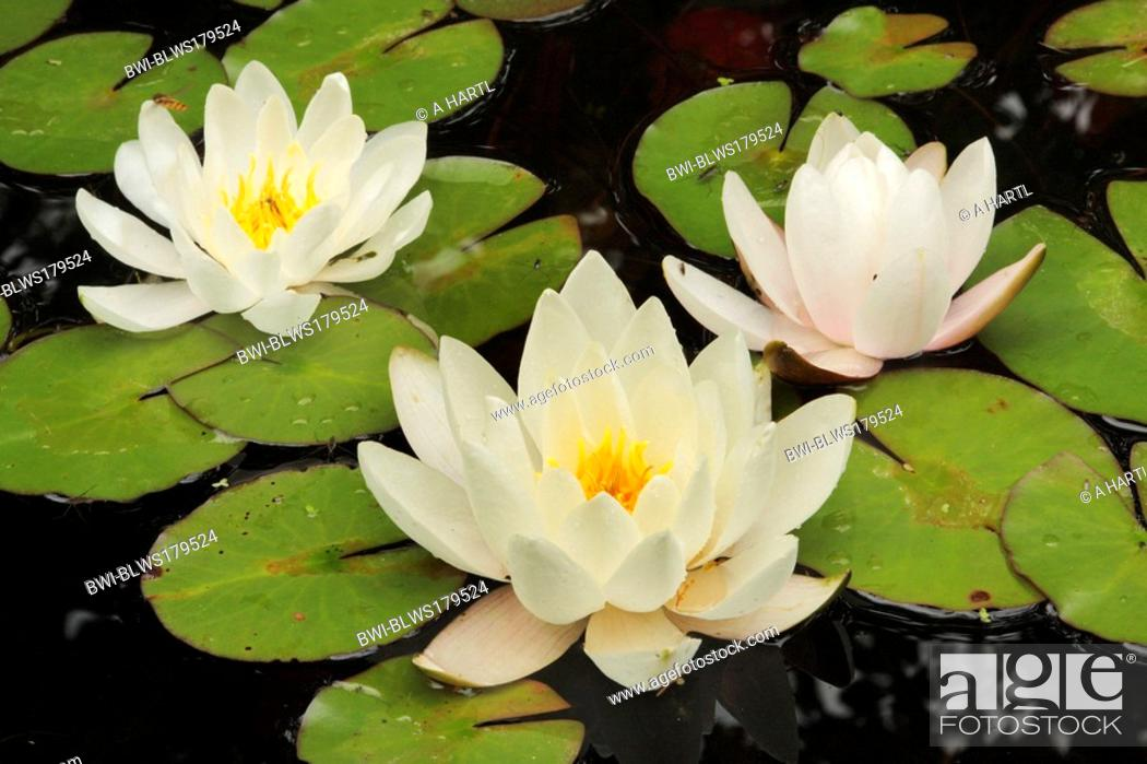 Stock Photo: white water-lily, white pond lily Nymphaea alba, three flowers on floating leaves, Germany, Bavaria.