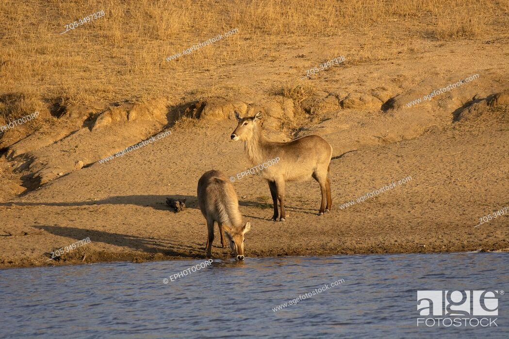 Imagen: Waterbuck, Kobus ellipsiprymnus, Kruger National Park, South Africa.