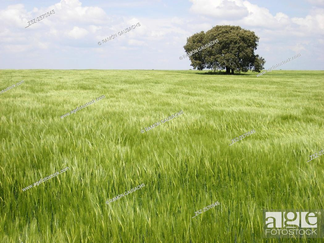 Stock Photo: Green wheat field, Huesca province, Aragón, Huesca, Spain.