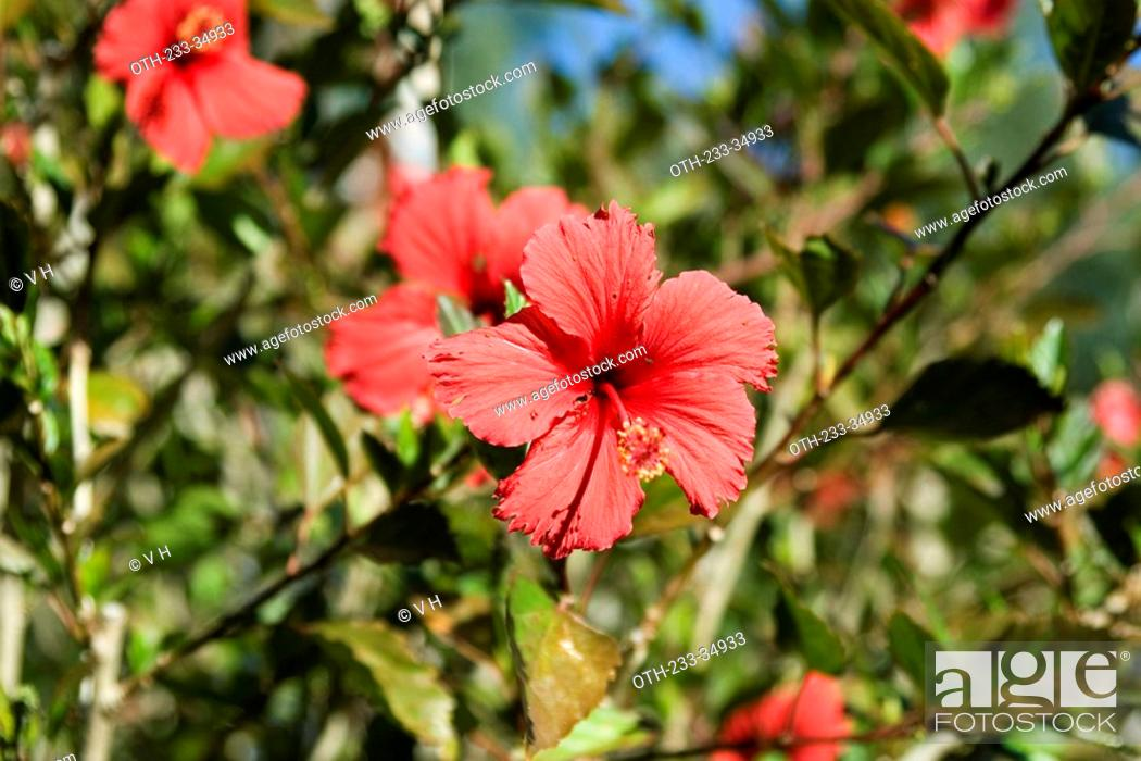 Hibiscus Adelaide South Australia Stock Photo Picture And Rights