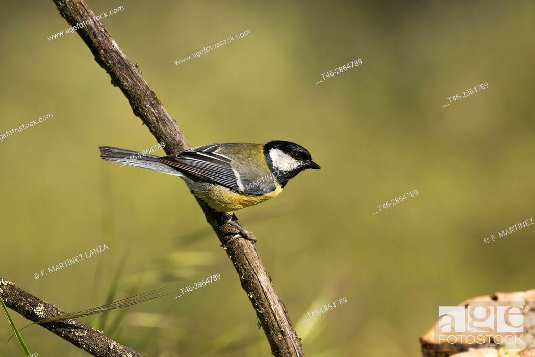 Stock Photo: Common saithe (Parus major). Photographed in the Regional Park Guadarrama River Madrid.