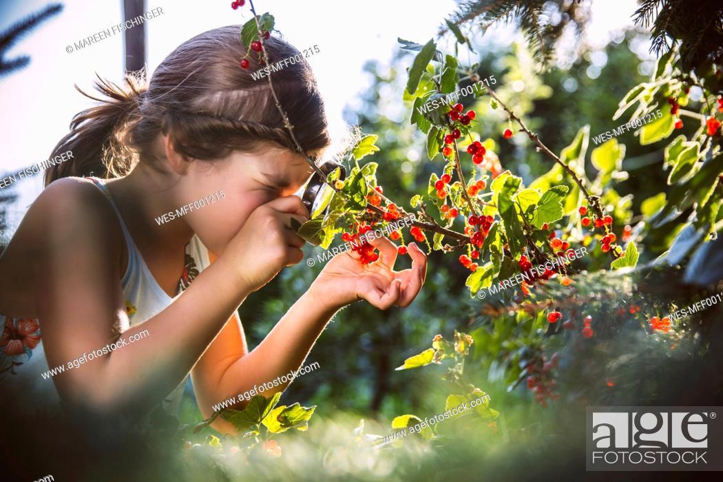Stock Photo: Germany, Northrhine Westphalia, Bornheim, Girl inspecting currant bushes.