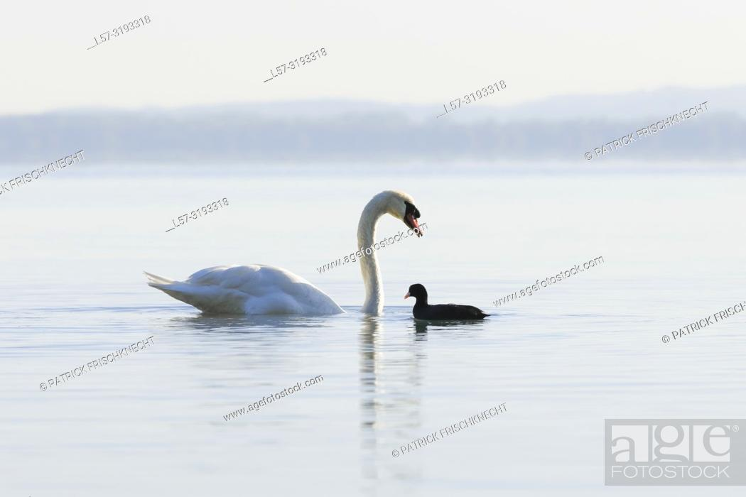 Stock Photo: Mute Swan and coot, Switzerland.