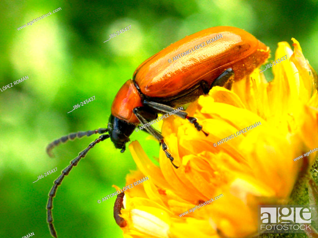Stock Photo: Chrysomelid beetle (Exosoma Lusitanicum).