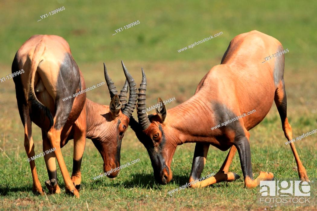 Stock Photo: Topis: during the rutting season, males fight fiercely for possession of females, Maasai Mara National Reserve, Kenya.