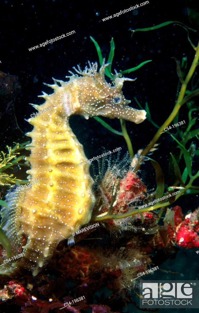 Stock Photo: Sea Horse (Hippocampus guttulatus).
