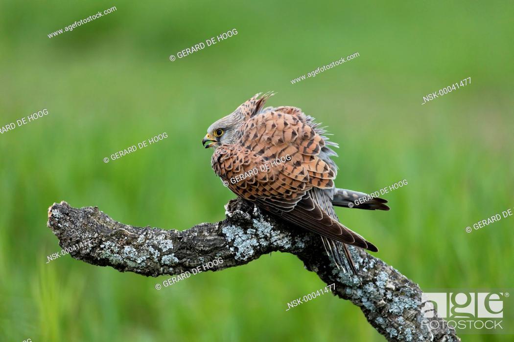 Imagen: Common Kestrel (Falco tinnunculus) female on a branch, Spain, Extremadura, Calera y Chozas.