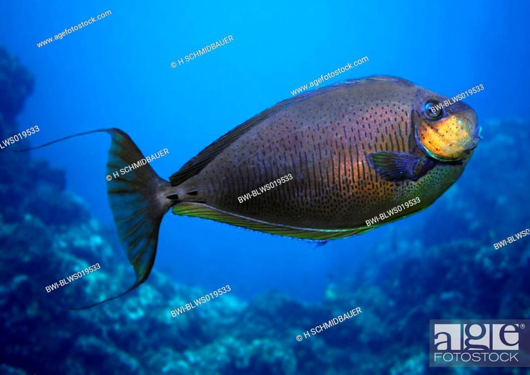 Bignose Unicornfish Zebra Unicornfish Vlamings Unicornfish Naso