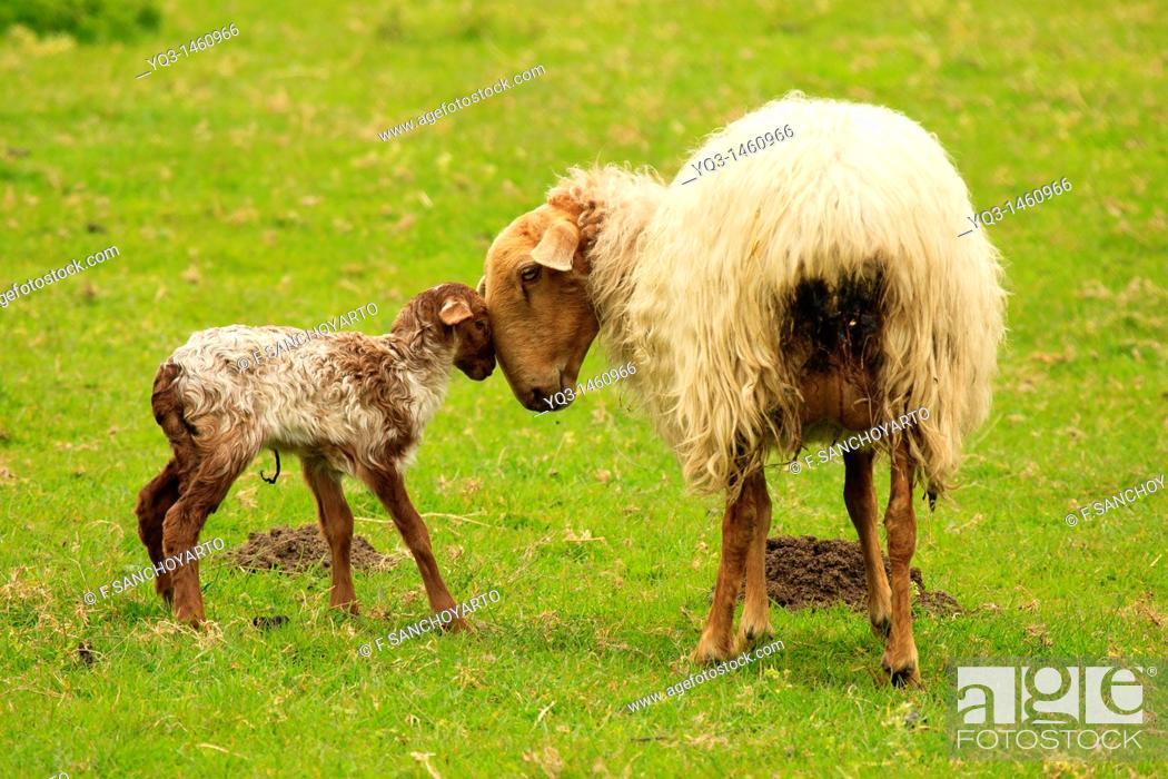 Stock Photo: Sheep and lamb.