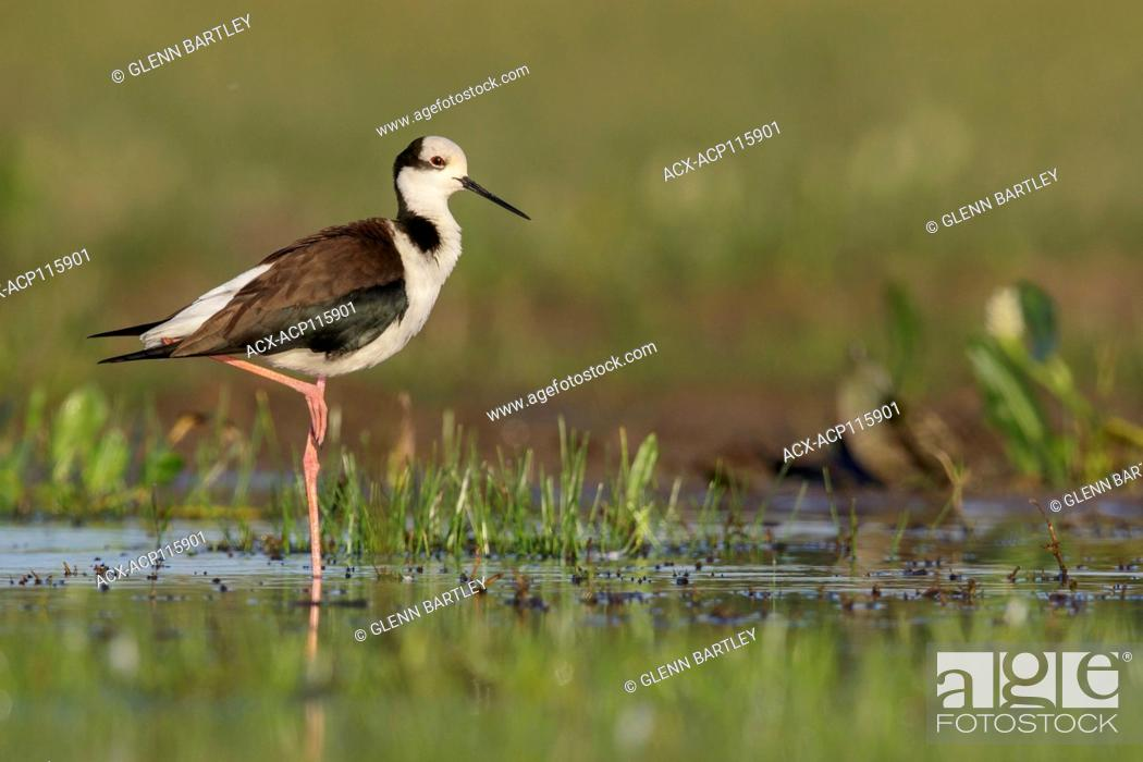 Imagen: Black-necked Stilt (Himantopus mexicanus) perched on the ground in the Pantanal region of Brazil.