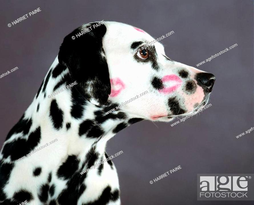 Stock Photo: Dalmatian with kiss marks.