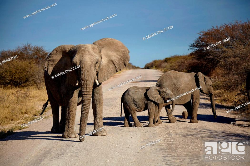 Stock Photo: Elephant and two juveniles crossing rural road, Namibia, Africa.