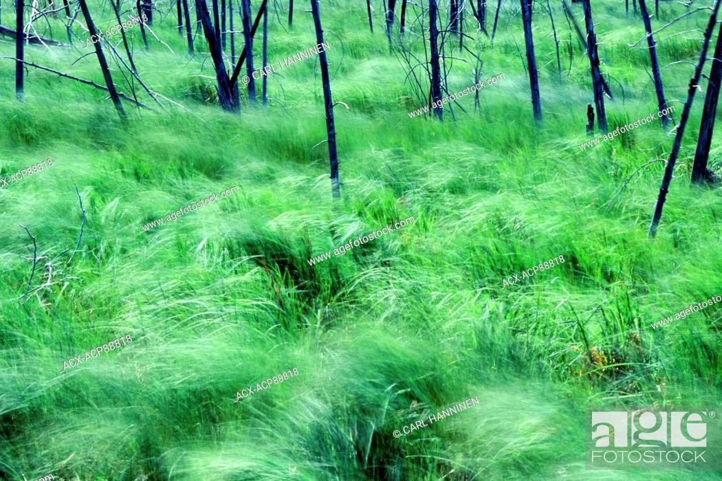 Imagen: Grasses waving in the wind, Manitoulin Island, Ontario, Canada.