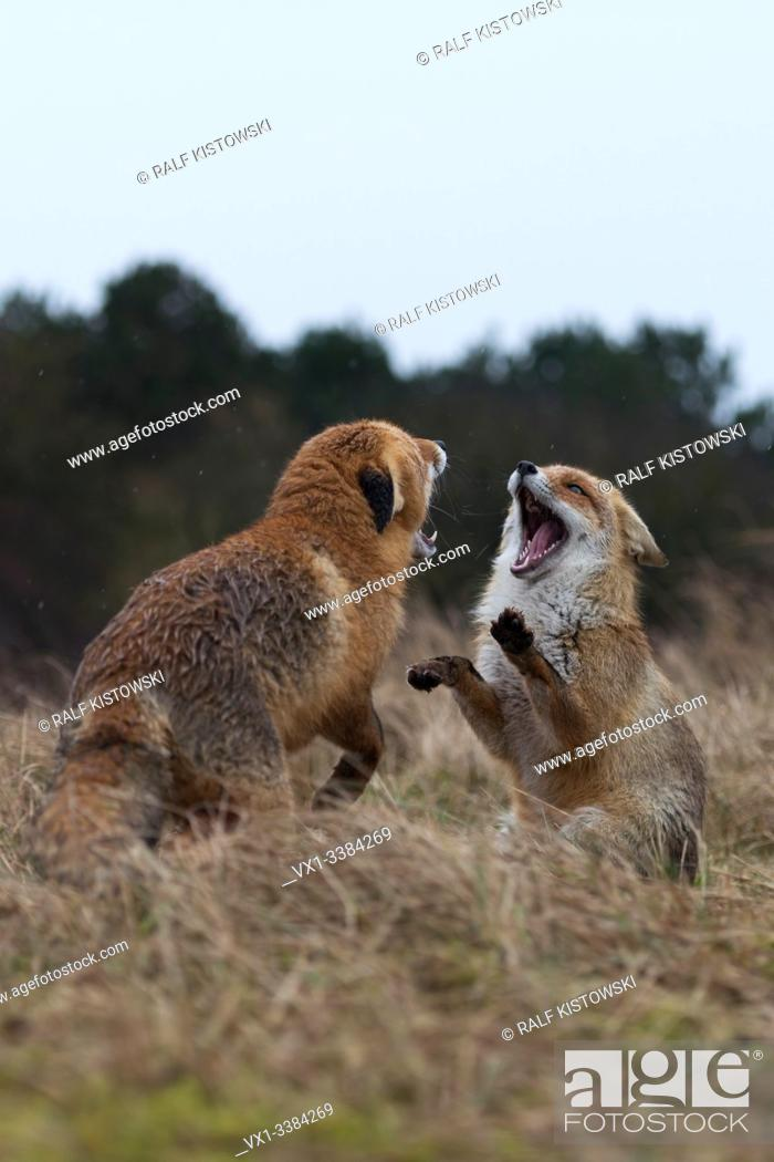 Stock Photo: Red Fox (Vulpes vulpes), adult, in agressive fight, fighting, threatening with wide open jaws, attacking each other, wildlife, Europe.