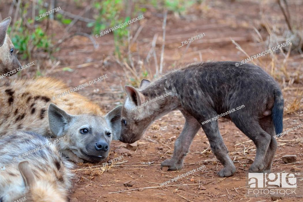 Stock Photo: Spotted hyenas or Laughing hyenas (Crocuta crocuta), lying adult and male baby looking at each other, Kruger National Park, South Africa, Africa.