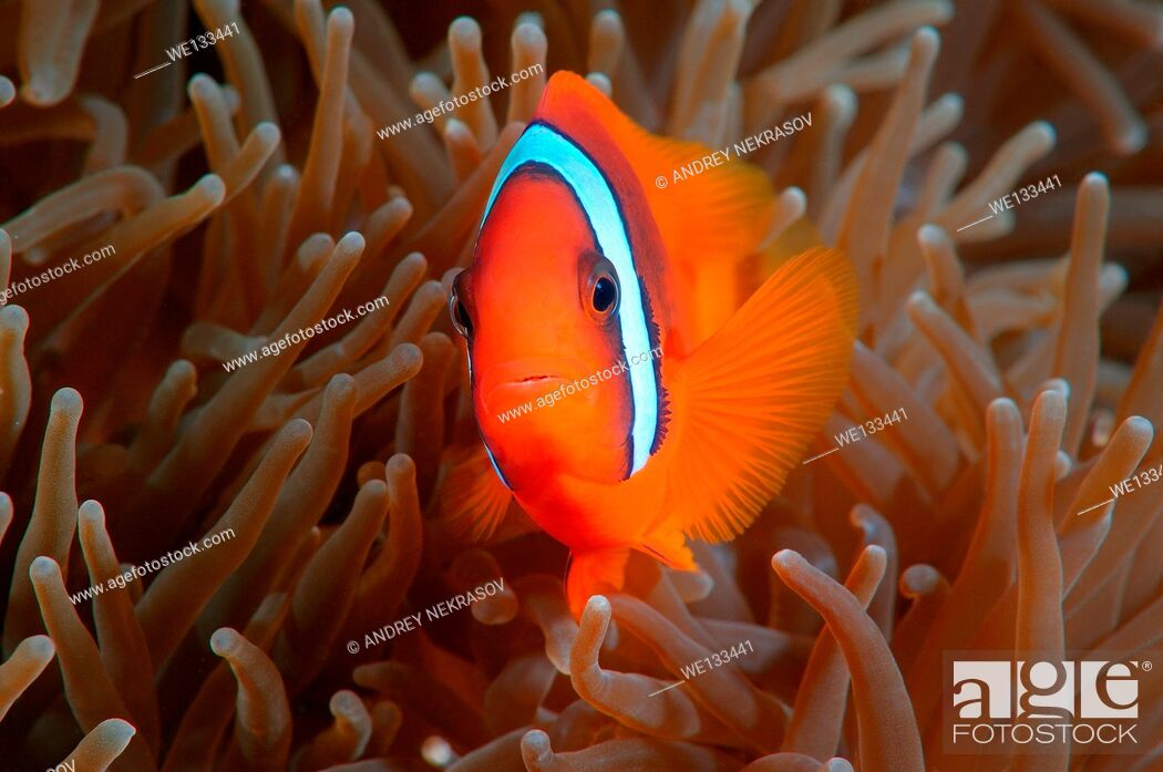 Stock Photo: Red Anemonefish or Australian clownfish (Amphiprion rubrocinctus) Bohol Sea, Cebu, Philippines, Southeast Asia.
