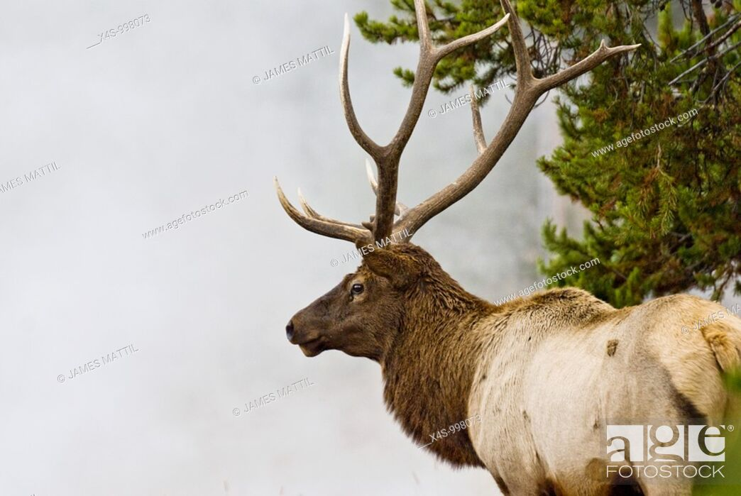 Stock Photo: A bull elk with battle-ready antlers poses in the steam and mist from a geyser in Yellowstone Park.