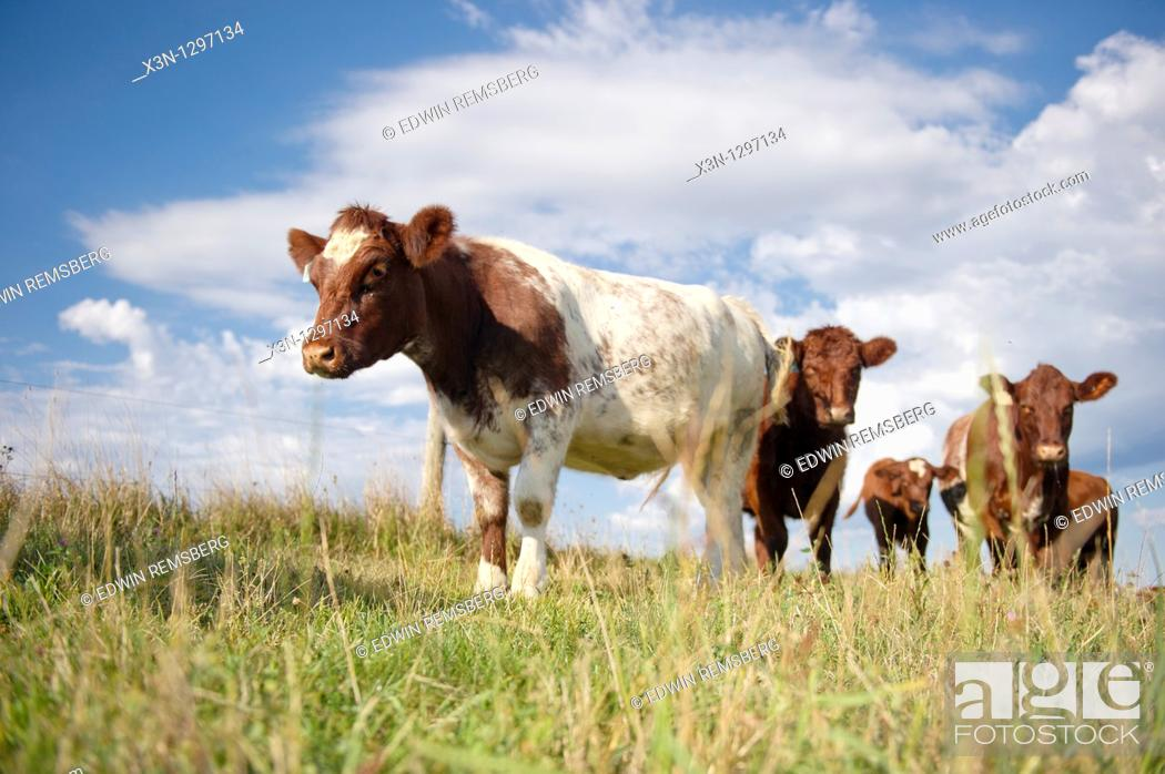 Stock Photo: Beef cattle in Hookstown, PA.