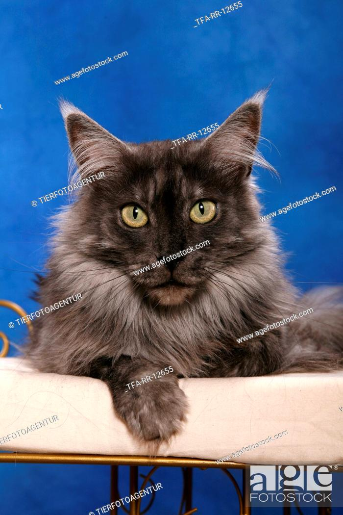 Stock Photo: lying Maine Coon.