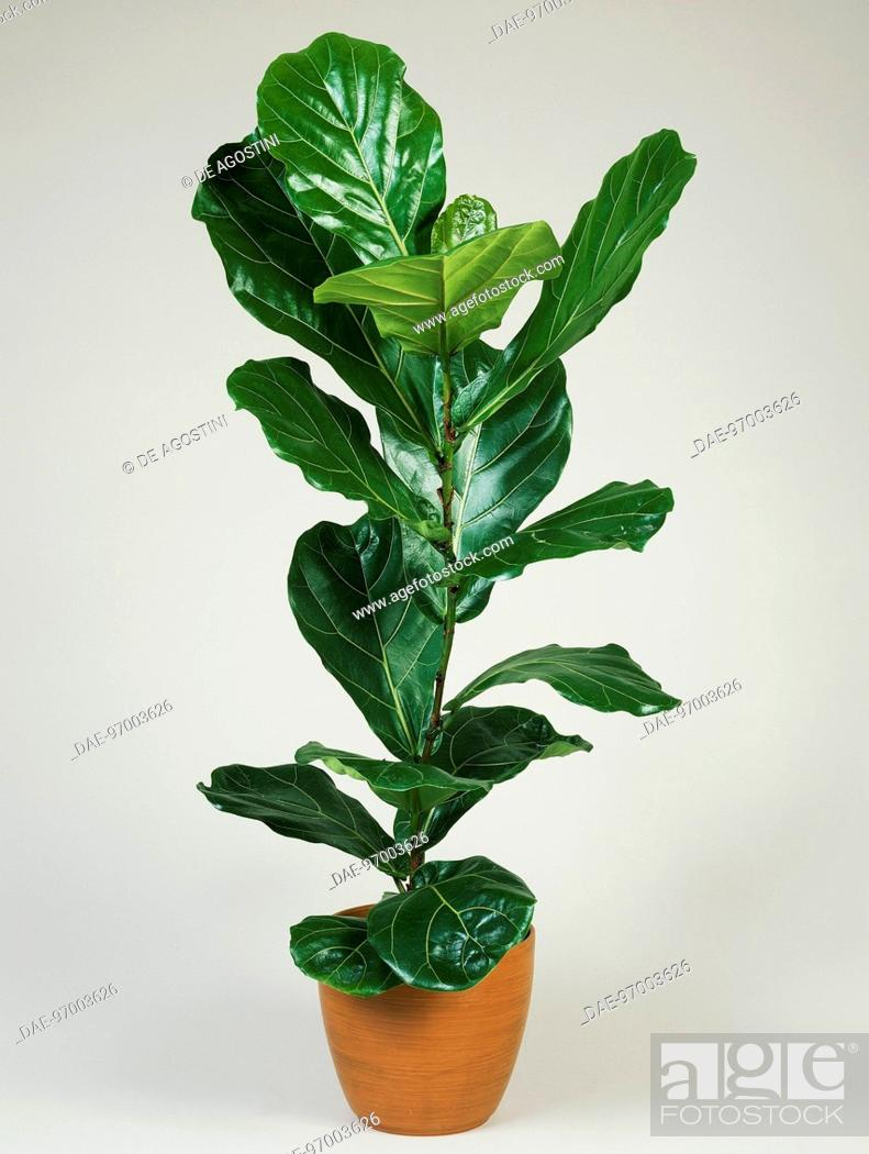 Fiddle leaf fig Ficus lyrata, Moraceae, Stock Photo, Picture And ...