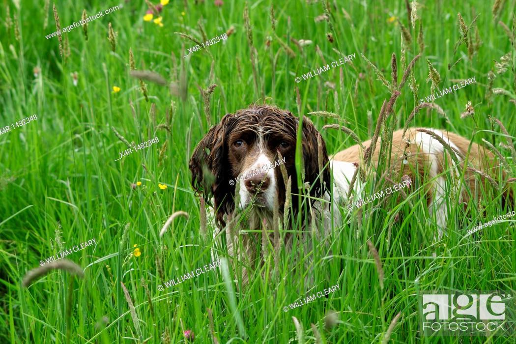 Stock Photo: Springer Spaniel in meadow grass.