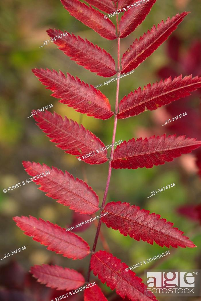 Stock Photo: The feather-like leaves of a rowan tree have turned bright red in autumn.