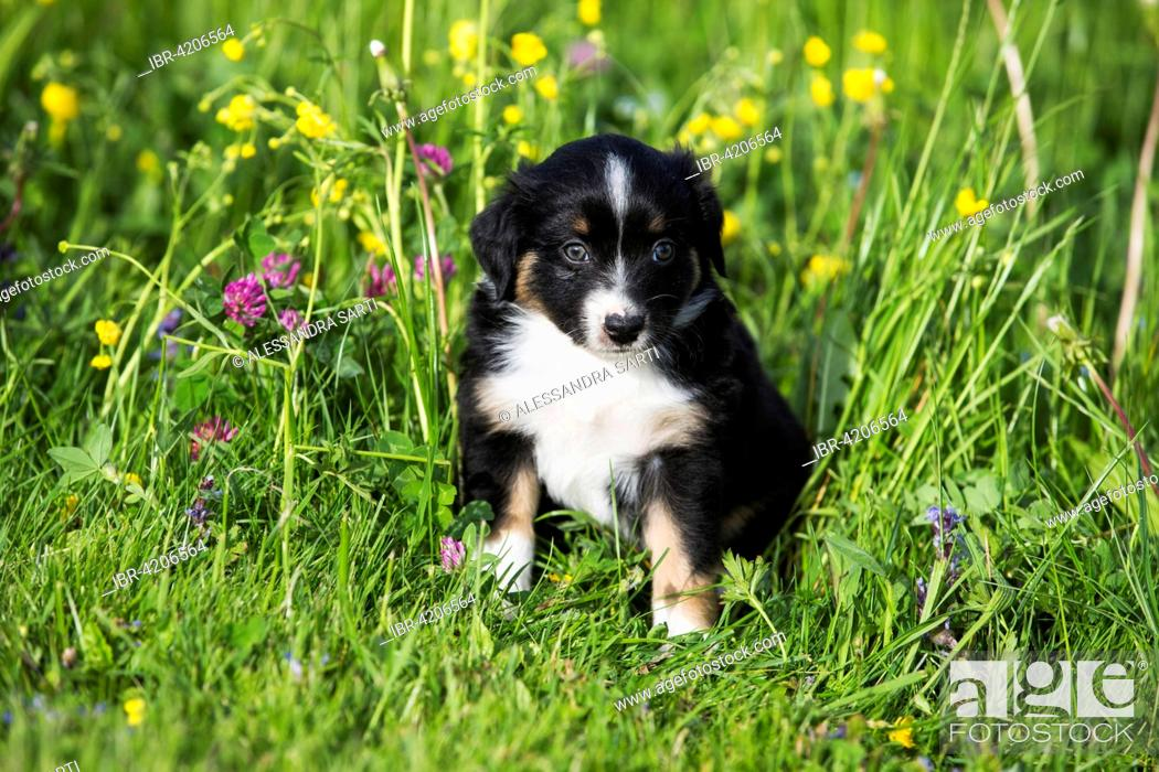 Miniature American Shepherd Or Miniature Australian Shepherd Or Mini Aussie Puppy Black Tri Stock Photo Picture And Rights Managed Image Pic Ibr 4206564 Agefotostock