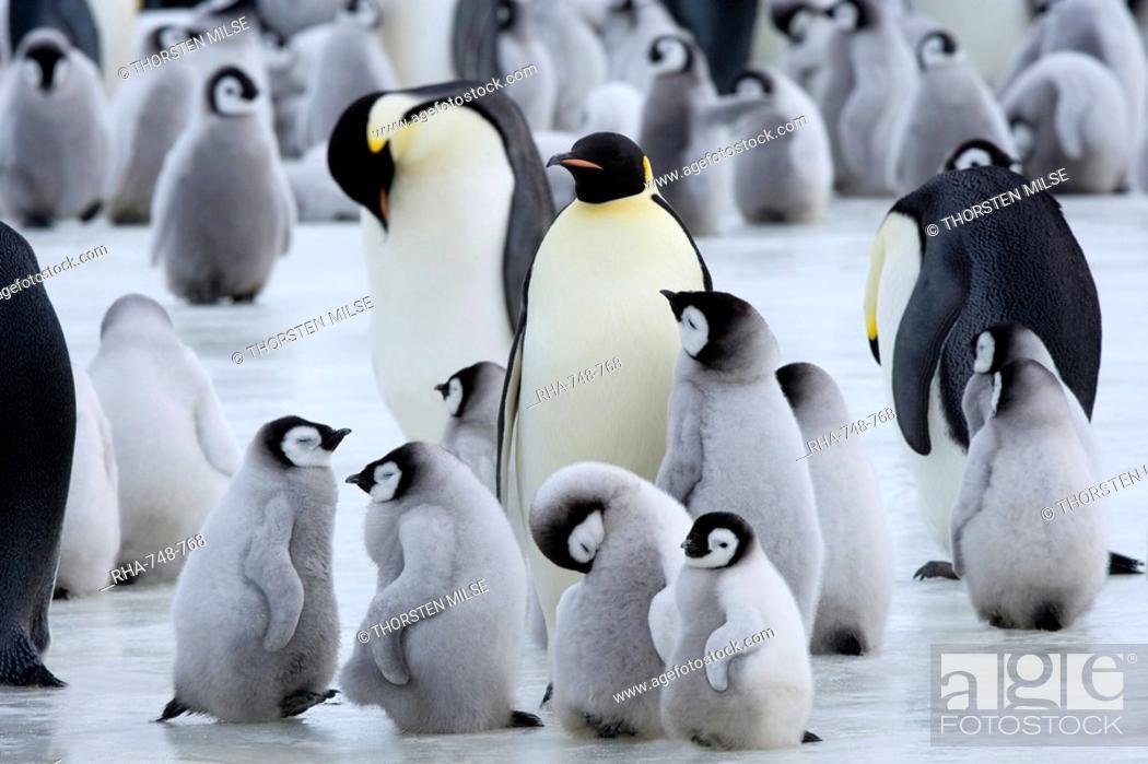 Stock Photo: Colony of Emperor penguins Aptenodytes forsteri and chicks, Snow Hill Island, Weddell Sea, Antarctica, Polar Regions.