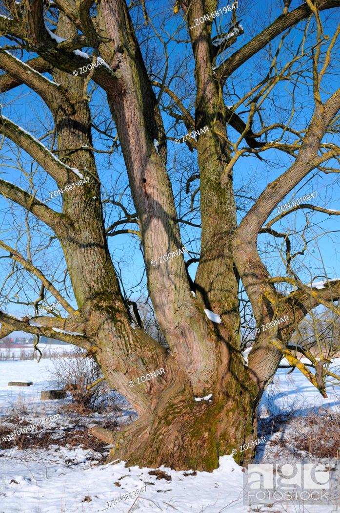 Stock Photo: White willow.