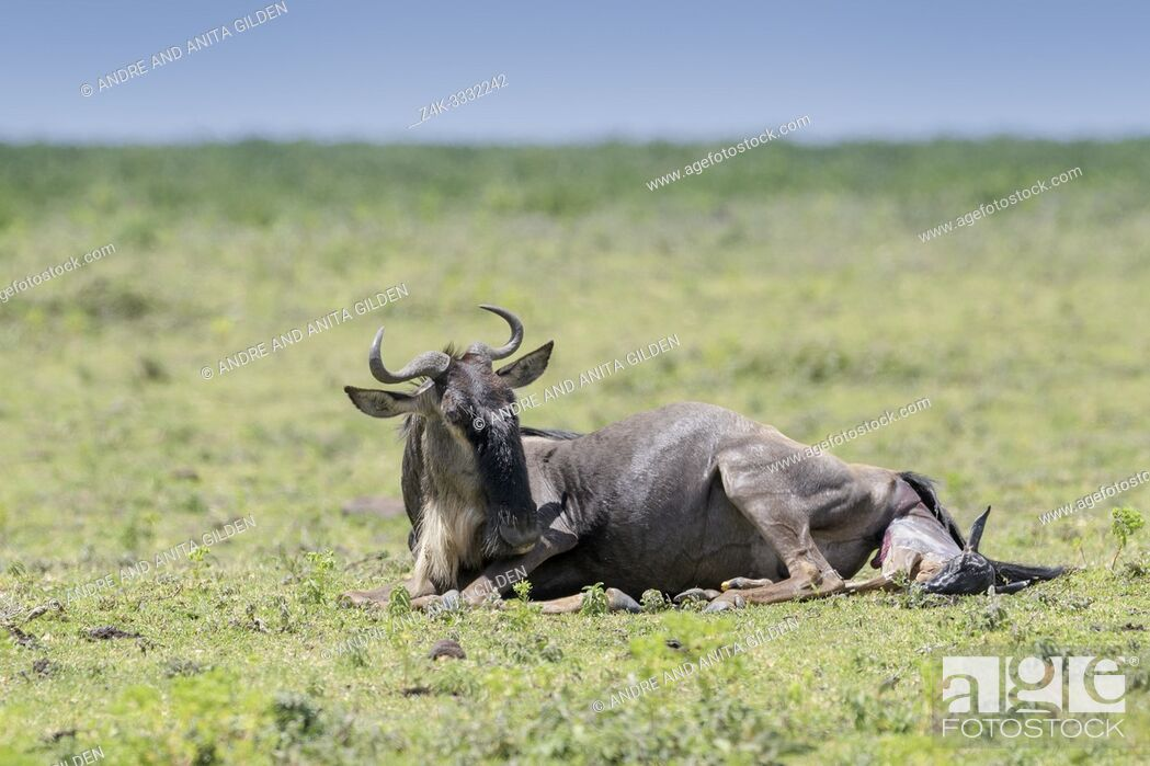 Stock Photo: Blue Wildebeest (Connochaetes taurinus) lying down giving birth to a calf, Ngorongoro conservation area, Tanzania.