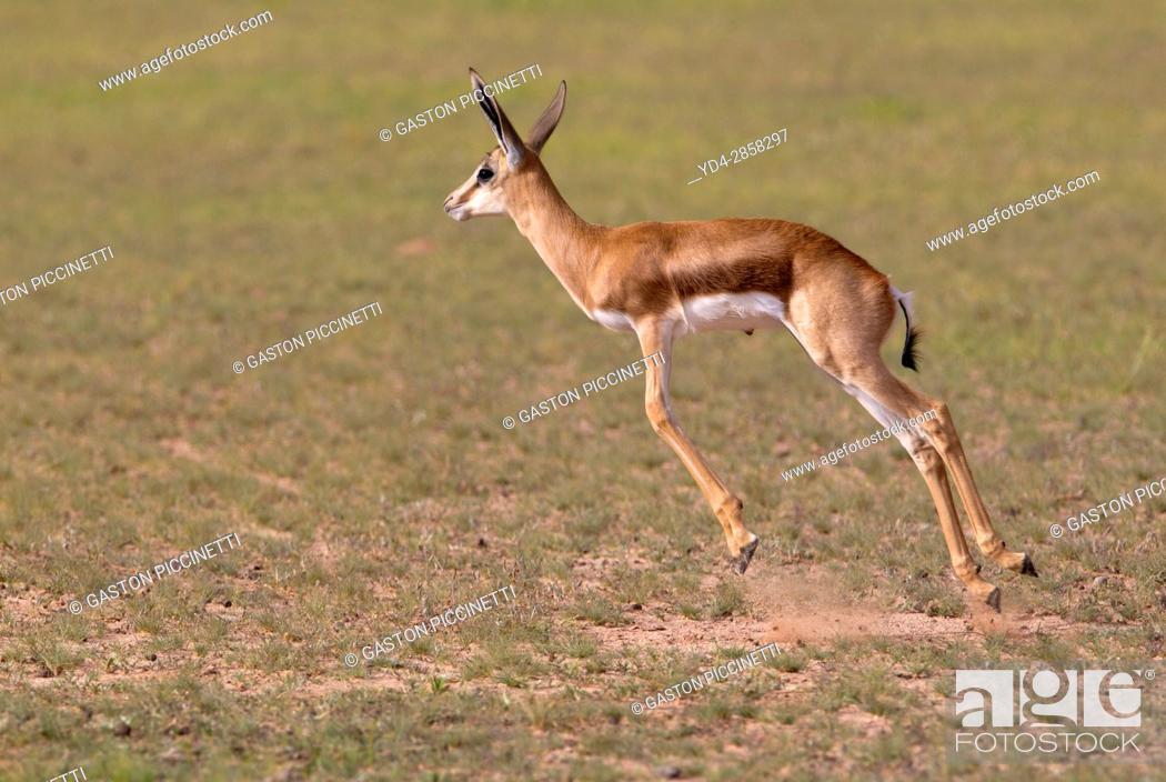 Stock Photo: Springbok (Antodorcas marsupialis) - Lamb, jumping, Kgalagadi Transfrontier Park in rainy season, Kalhari Desert, South Africa/Botswana.